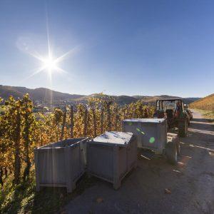 Weinlese im Weinberg - Weingut Peter Lauer in Ayl