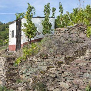 Weinberge mit Rieslingreben vom Weingut Peter Lauer in Ayl