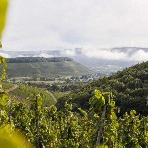 Rieslingreben in bestern Weinlage an der Saar