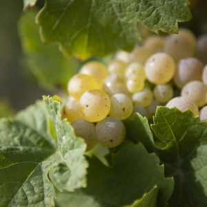 Rieslingtrauben im Weinberg - Weinanbaugebiet Mosel