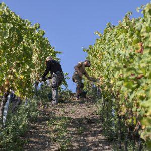 Weinberge mit Rieslingreben - Weingut Peter Lauer bei der Weinlese